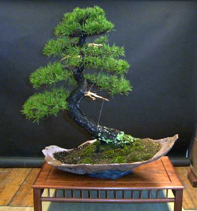 bonsai-haya