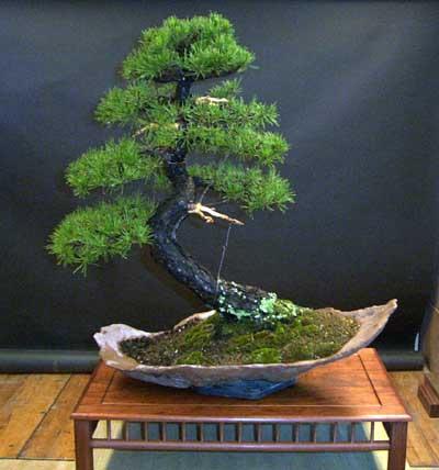 bonsai-haya