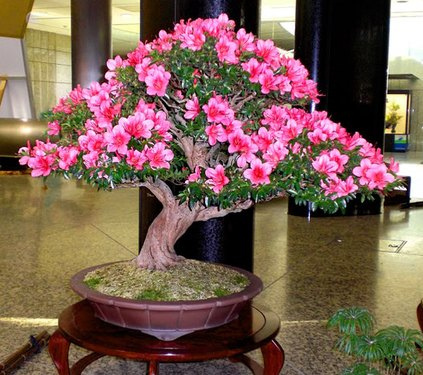 Bonsai MANTENIMIENTO