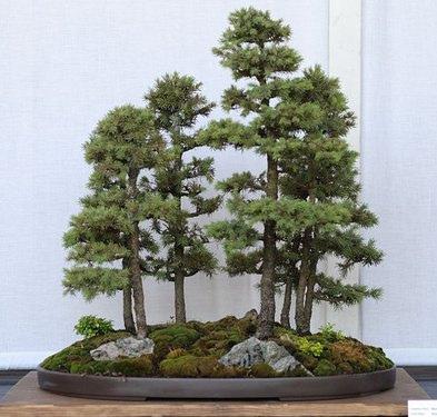 bonsai on line