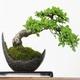 Los Bonsáis – La Naturaleza en miniatura para decorar tu hogar